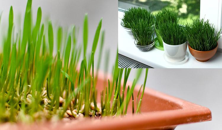 Varianta CORECTĂ prin care pui grâul la încolțit, de Sfântul Andrei!