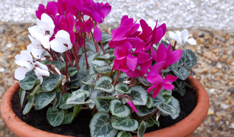 Sfaturi utile pentru îngrijirea florilor de ciclame