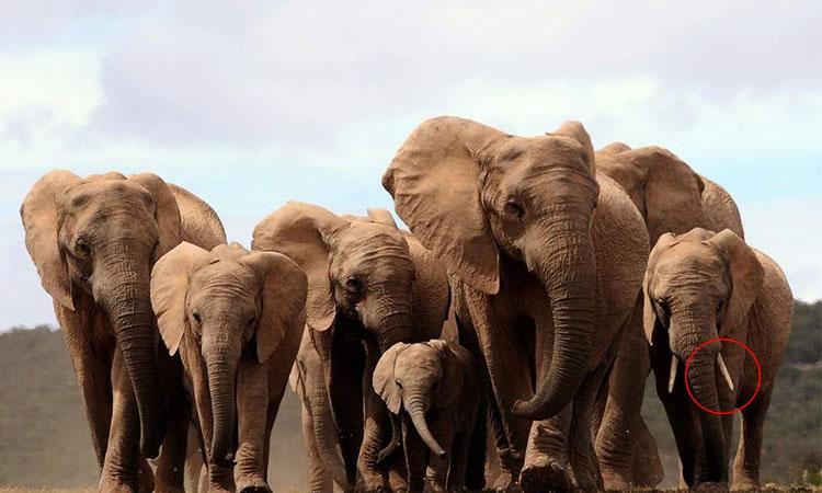 Elefanții evoluează și își pierd colții, pentru a supraviețui braconajului