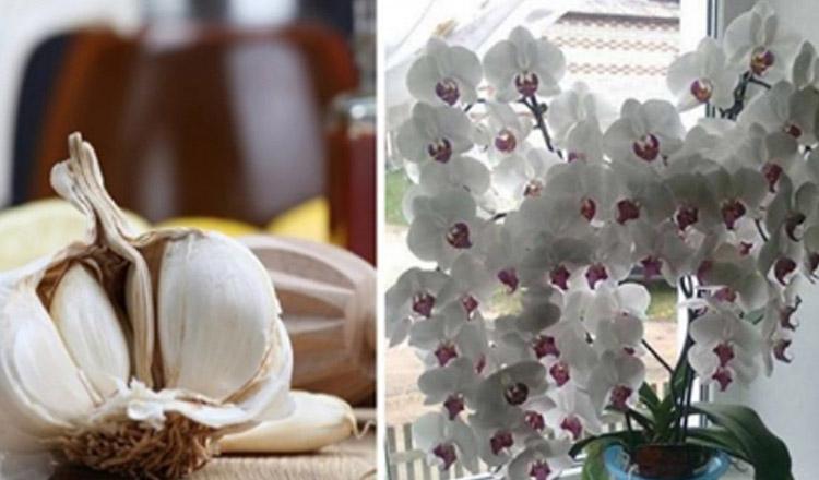 Vrei să ai o orhidee superbă? Vezi cum te poate ajuta usturoiul…
