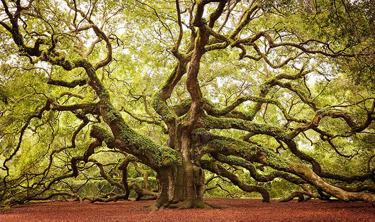 Copacii sunt vindecătorii naturii, iată ce proprietăți are fiecare arbore