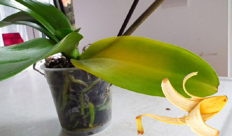 Fructul cu ajutorul căruia cureți ușor frunzele orhideelor. Sfaturi de aur de la grădinari!