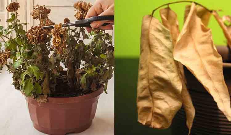 De ce se usucă plantele când le muți în alt ghiveci. Greșeala pe care o fac mulți