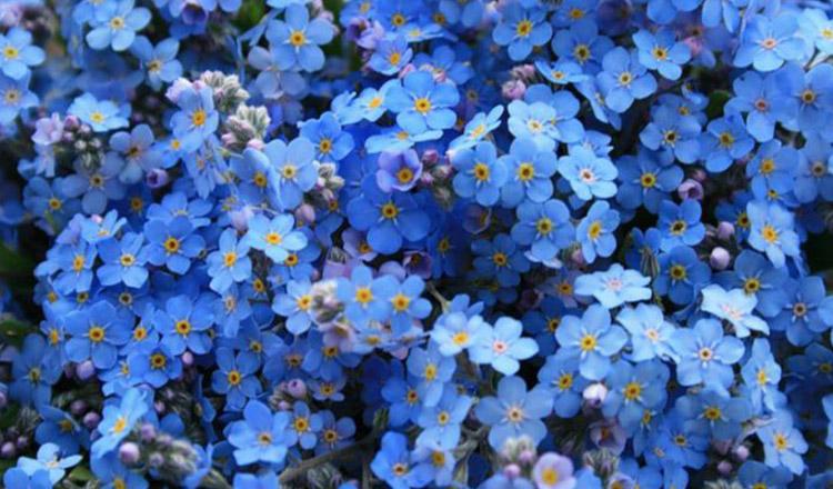 Floarea de Nu-mă-uita nu este doar frumoasă! Efectele ei terapeutice sunt, pur și simplu, uimitoare